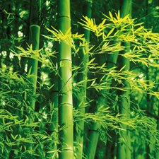 DM670 Bamboo In Spring Wall Mural by Brewster
